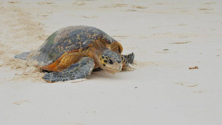 Constance Lemuria Seychelles Turtle