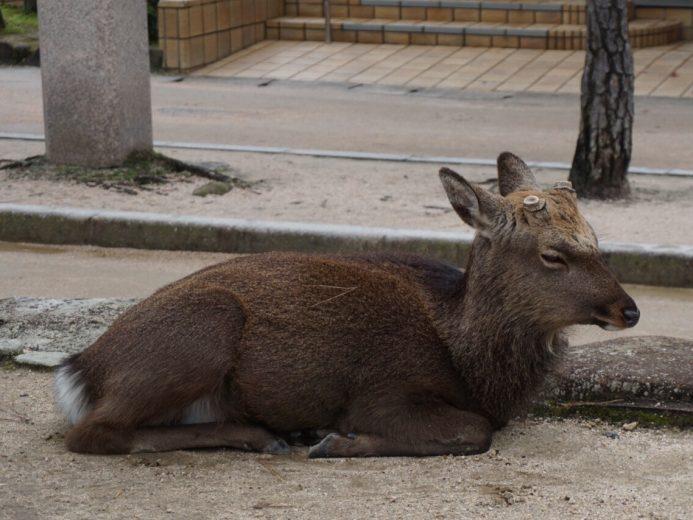 japan tame deer