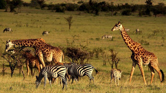 Mahali Mzuri Giraffes and Zebras Grazing