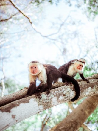 Local monkeys in Costa Rica