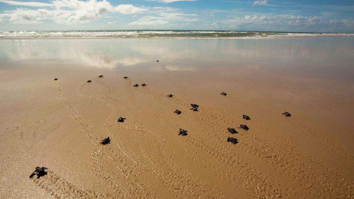 Turtles on the beach near Txai Resort, Brazil