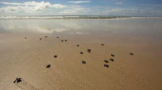 Turtles on the beach by Txai Resort, Brazil