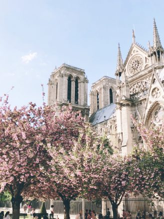 Notre Dame cherry blossoms in Paris