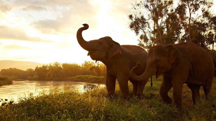 Elephants trumpeting in the grass by the water
