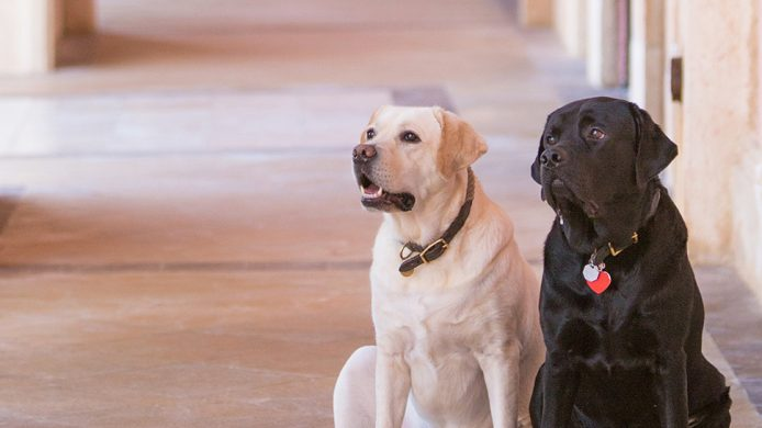 Labradors at the Boca Raton Resort & Club