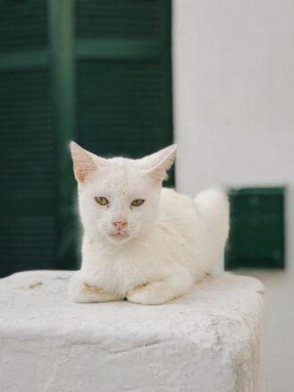 Mykonos cat