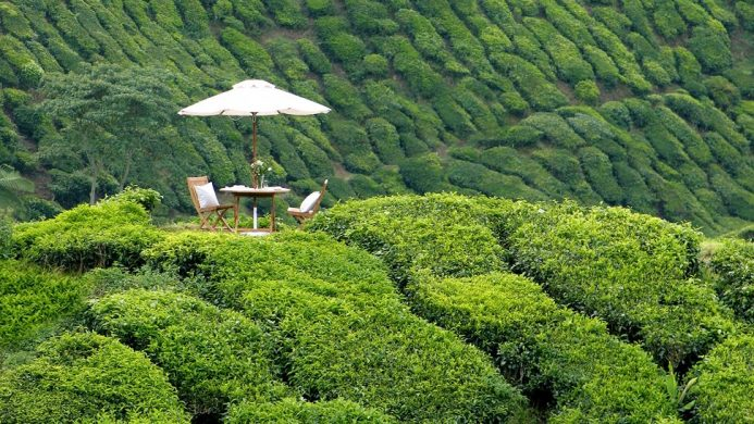 Picnic in a field of tea leaves